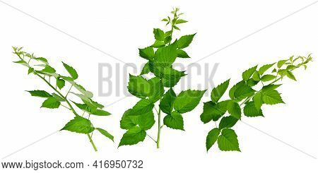 Raspberry Leaves. Gardening, Horticulture. Healing Plant. Tea From Raspberry Leaves Helps With Colds