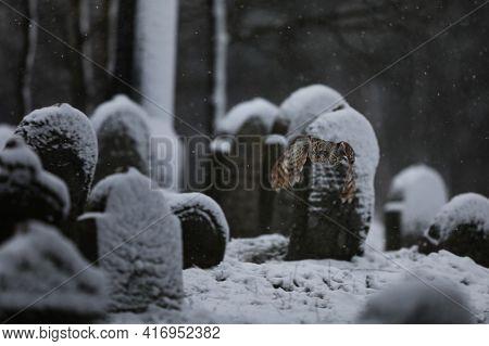 Tawny Owl Flying In Old Cemetery In Winter - Strix Aluco