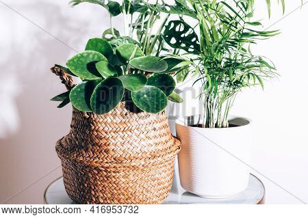 Different House Plants Such As Chinese Money Plant, Pilea Peperomioides Or Pannenkoekenplant, And Mo
