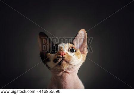 Close-up Curiosity Muzzle Of Cat Breed Devon Rex, Portrait On Dark Background, Copy Space