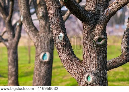 Tree Trunks Of Leafless Fruit Trees In Spring Orchard