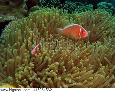 A Pair Of Pink Anemonefish In Their Anemone Cebu Philippines