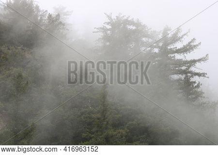 Fog Surrounding Jeffrey Pine Trees Taken At An Alpine Forest In The Rural San Gabriel Mountains, Ca