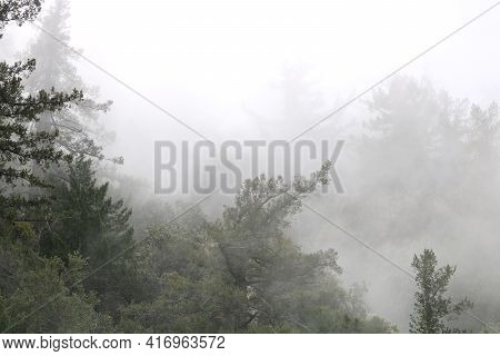Fog Surrounding Pine Trees During A Rain Storm Taken At A Temperate Coniferous Forest During A Cold