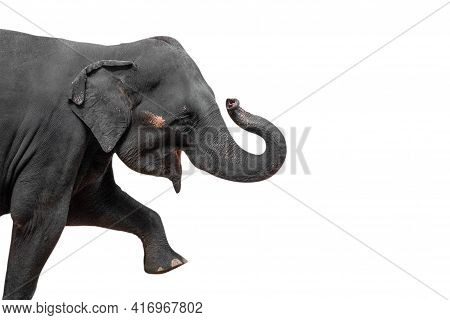 Close Up Movement Of Asian Elephant Isolated On White Background With Clipping Path And Copy Space