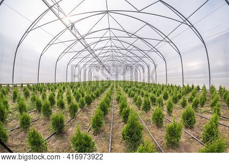 Rows Of Young Conifers In Greenhouse With A Lot Of Plants On Plantation