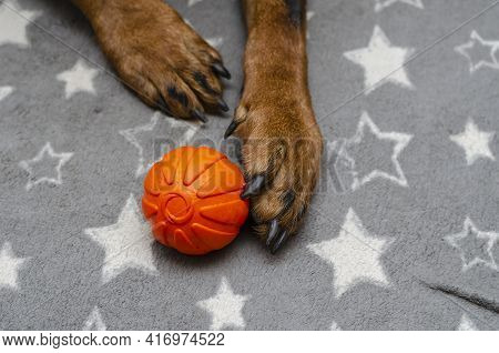 Close-up Of A Dog's Paw With An Orange Ball On A Gray Bedspread. The Rottweiler Holds Its Favorite R