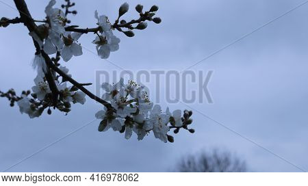 Branch Of Blooming Cherry Plum With Delicate White Flowers Against A Gray Cloudy Sky And Leafless Cr