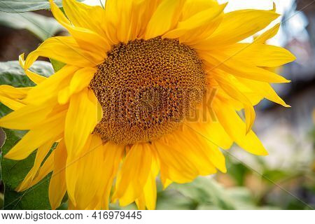 Sunflower Yellow Inflorescence In Bloom Close Up