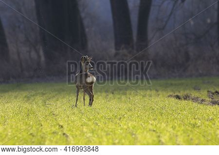 Young Roe Deer On A Green Meadow In The Spring