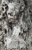 Trunk old knotted olive tree in closeup poster