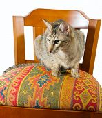 young grey oriental cat sitting on a beautiful eastern chair poster