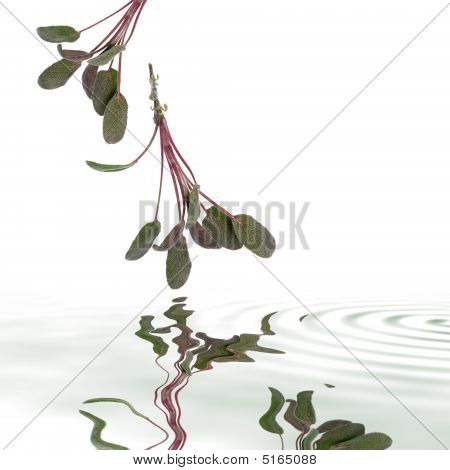 Purple sage leaf sprigs with reflection in rippled grey water over white background. poster