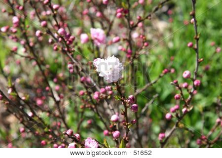 Buds Of Flowering Almond Ornamental Shrub