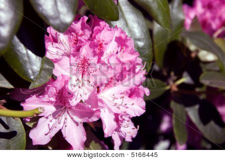 Orchid & White Rhododendron Flower
