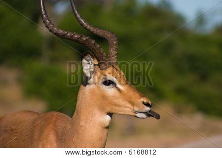 Cheeky Impala