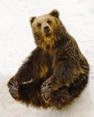 A black brown bear sitting on snow. poster
