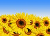 Sunflowers in full bloom set against a blue sky background. poster