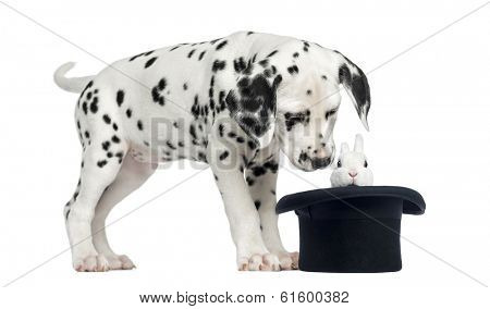 Dalmatian puppy looking at a rabbit in black top hat, isolated on white