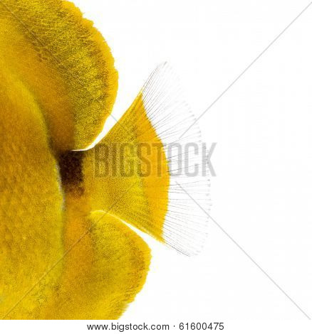 Close-up of a Bluelashed butterflyfish's caudal fin, Chaetodon bennetti, isolated on white.