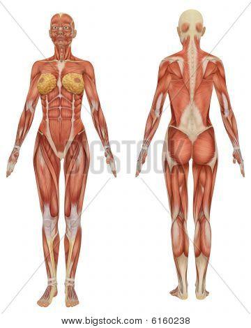 Vrouwelijke gespierde anatomie voor- en achterzijde weergave