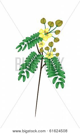 A Fresh Senna Siamea On White Background