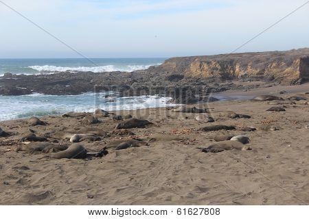 Elephant Seals on California Beach