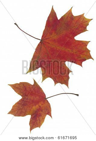 red leaves of maple tree at autumn