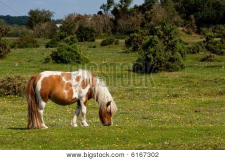 Pony Grazing in the forest