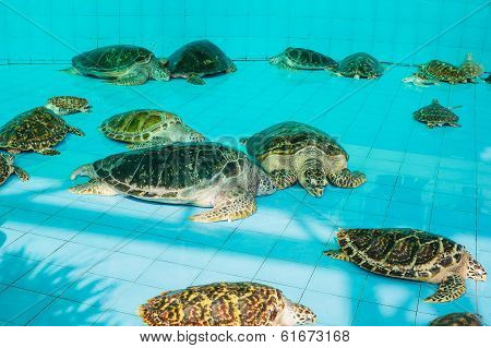 Green Turtle Or Chelonia Mydas In Pond