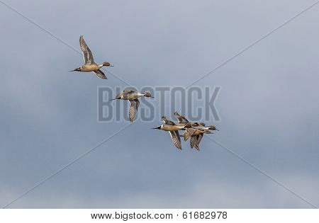Flying Pintail Ducks.