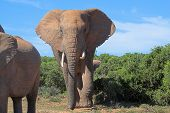 African Elephant heading this way poster