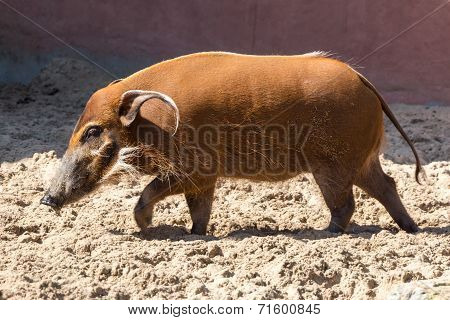 Red River Hog - Shadows