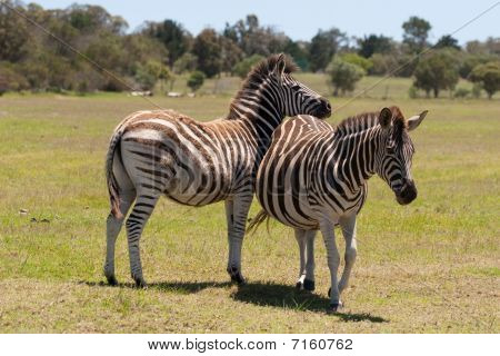 Two zebra interacting