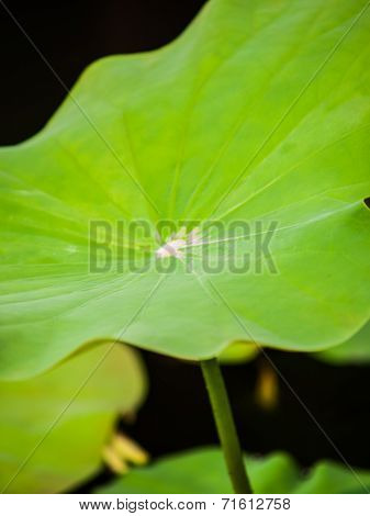 Part Of Lotus Leaf In Nature