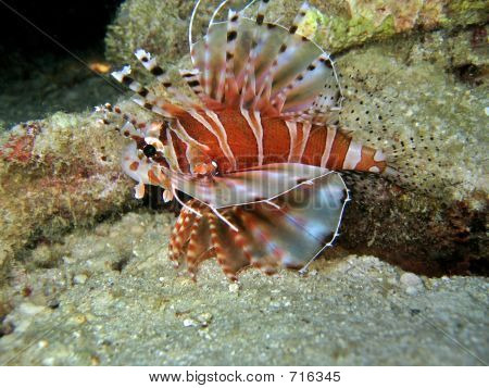 Poisonous lionfish, a favorite aquarium pet poster