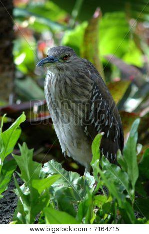 Night Heron (nycticorax nycticorax)