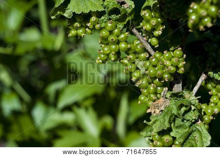 Green Unripe Currant