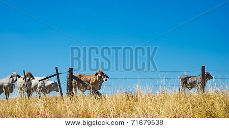 Beef Cattle On The Horizon