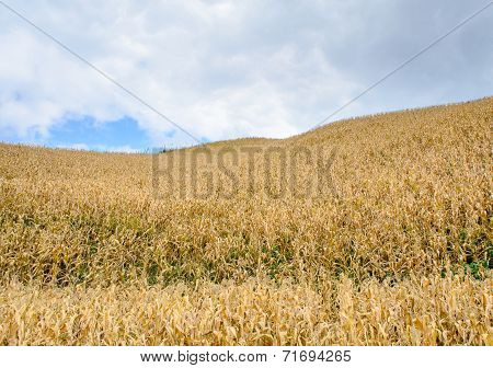 Corn Field On Hill