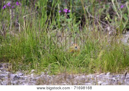 A view of a ground squarrel hiding in the grass poster