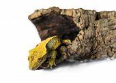 lizard crested gecko (rhacodactylus ciliatus) climbing stump isolated on white background poster