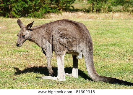 Eastern Grey Male Kangaroo From Southern Australia
