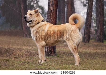 Alabai Dog