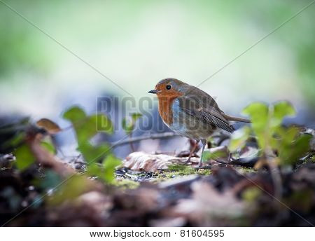cute little robin bird