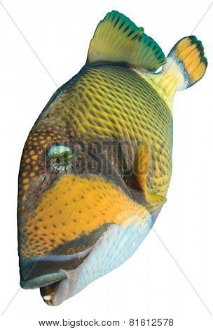 Tropical fish isolated: Titan Triggerfish