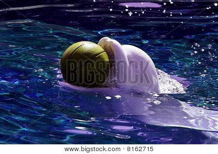 Beluga whale playing with ball