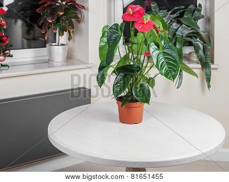 Flamingo Flower