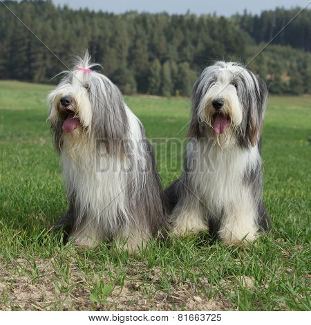 Couple Of Amazing Bearded Collies