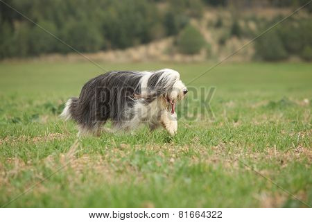 Bearded Collie Running In Nature